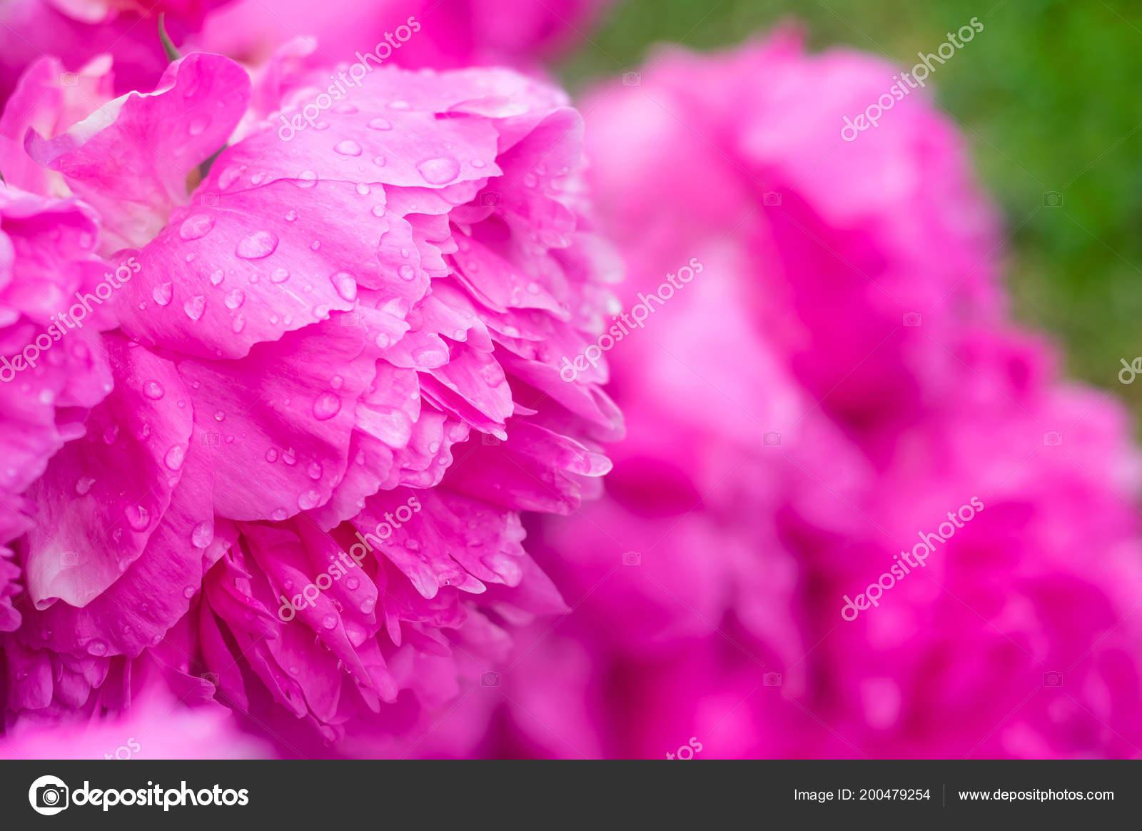 Beautiful Blooming Flowers Peonies Raindrops Stock Photo