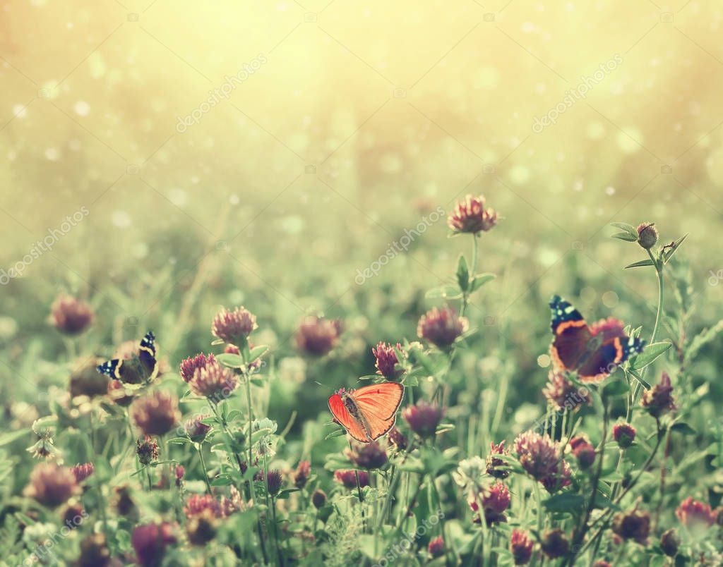 Summer landscape with blooming clover at sunset. Summer background with butterflys  on clover flowers