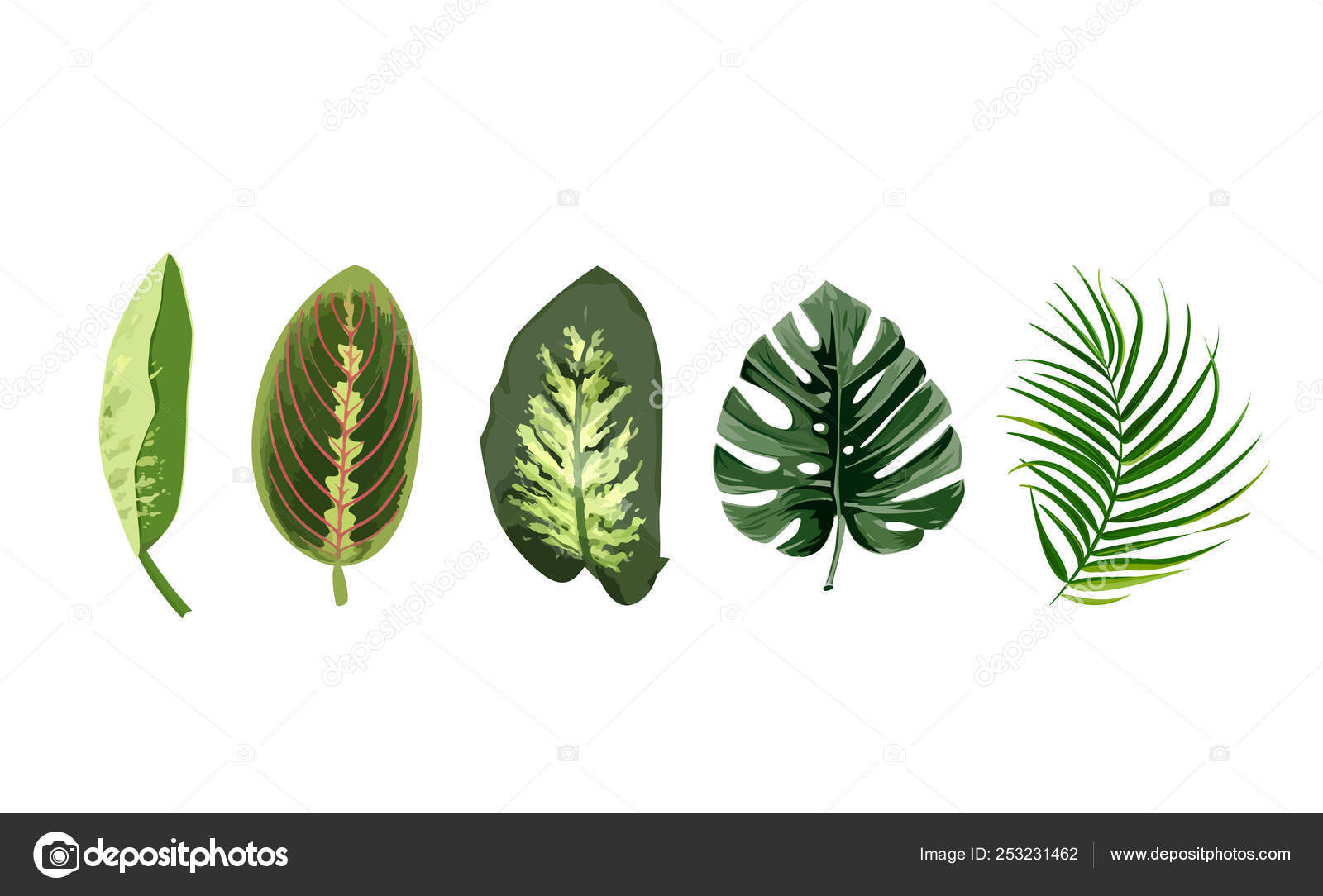 Set Of Tropical Leaves Monstera Dieffenbachia Palm Leaf Isolated Single Leaves On White Background Stock Vector C Elena Murr 253231462 The monstera deliciosa or the swiss cheese plant is an easy care indoor plant complete with monstera deliciosa, the hurricane or swiss cheese plant are all names for an old fashioned but. set of tropical leaves monstera dieffenbachia palm leaf isolated single leaves on white background stock vector c elena murr 253231462