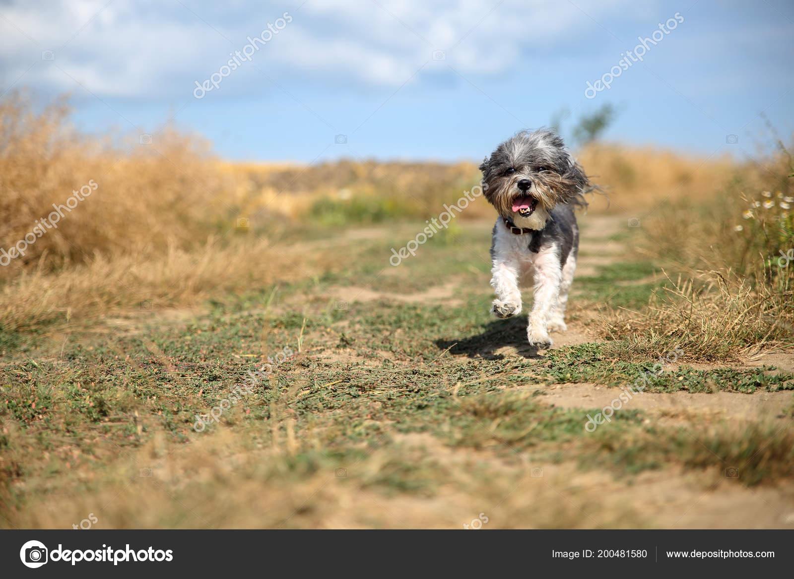 Cute Bichon Havanese Dog Summer Haircut Its Tongue Hanging Out