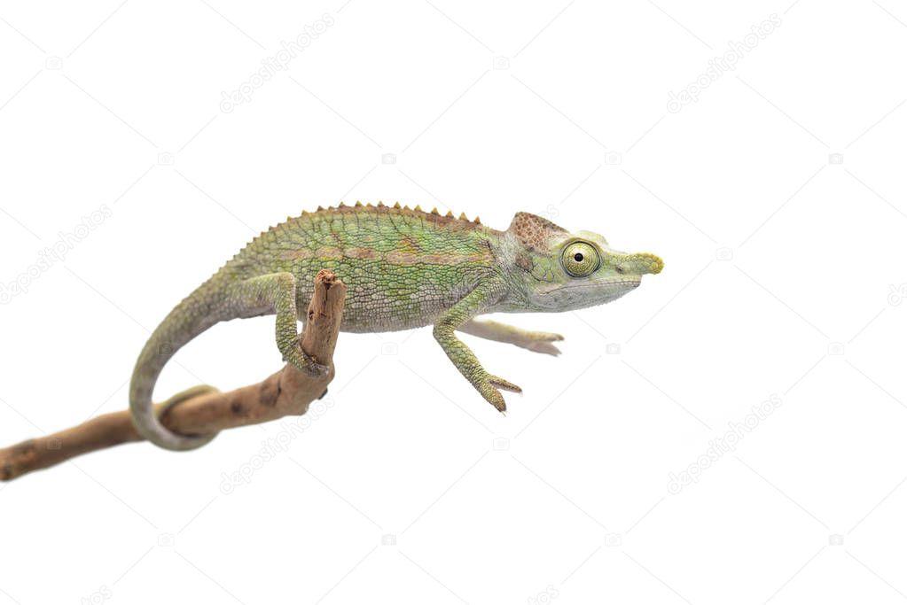 Male Lizard Antimena chameleon isolated on white background