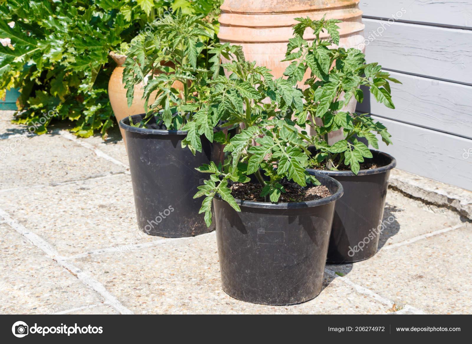 Kunststof Tuin Pot : Tomaten planten die groeien plastic pot een tuin zomer u2014 stockfoto