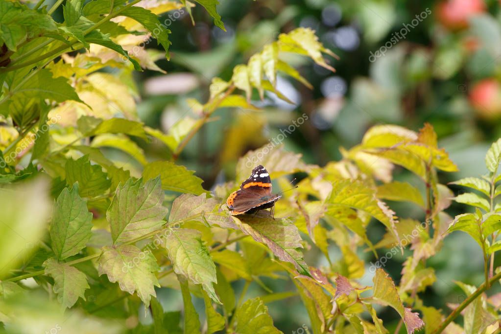 Red admiral butterfly on a leaf in Brittany during summer