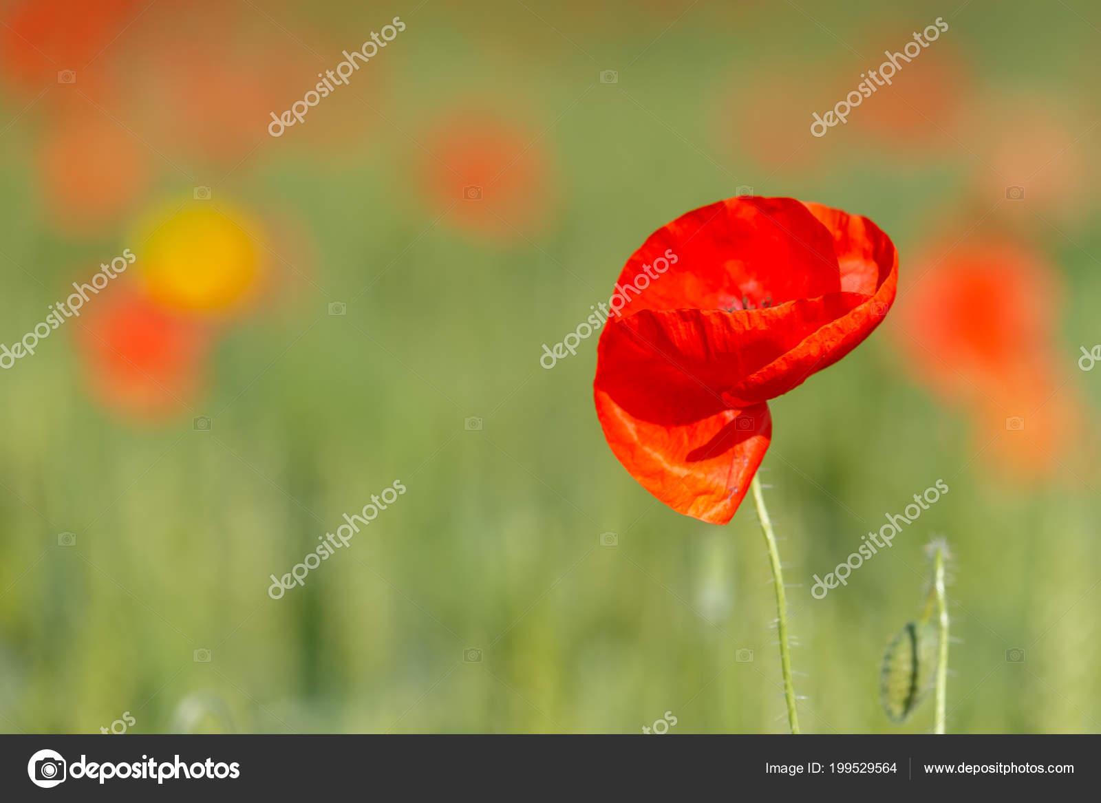 Poppy Flower Field Red Colors Green Zdjcie Stockowe