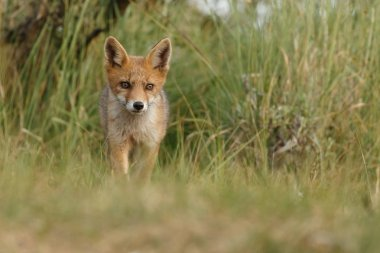 Red fox cub in nature on a spring day
