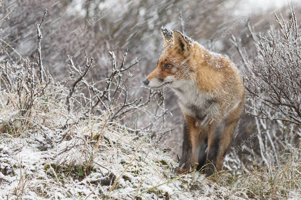 Red fox in nature on a cold winter day