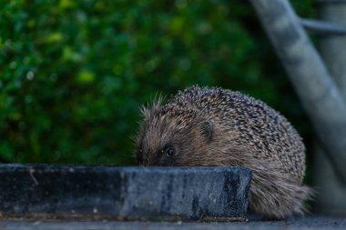 Cute hedgehog animal in natural habitat