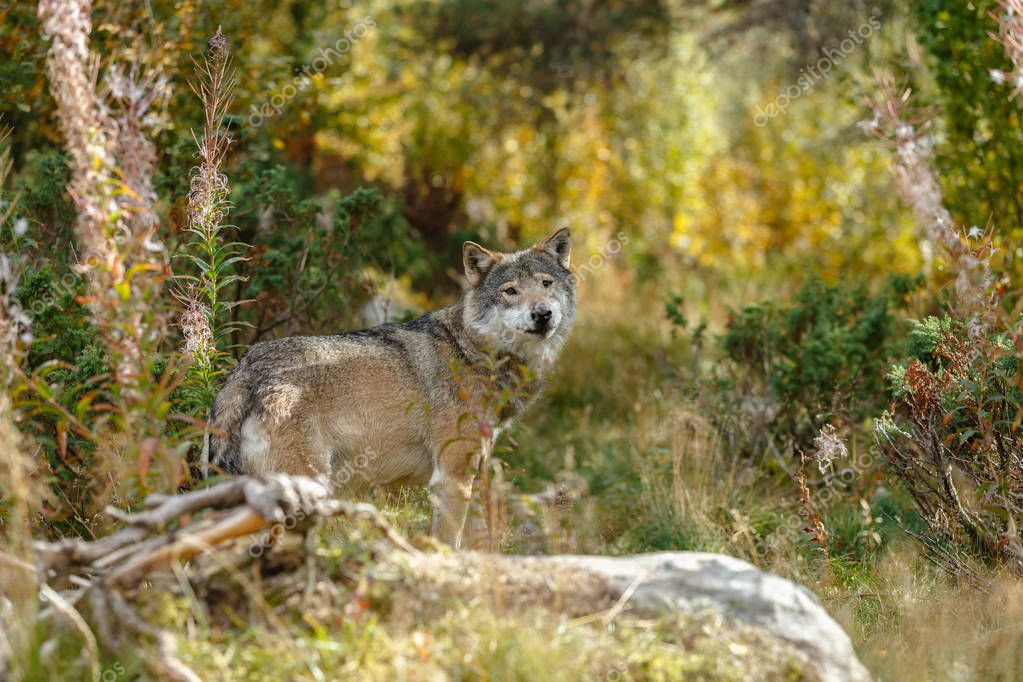 Grey Wolve standing in a green surrouding