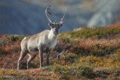 Photo Reindeer or Caribou (Rangifer tarandus) in nature with autumn colours