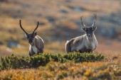 Photo Reindeer or Caribou (Rangifer tarandus) in nature with autumn colors