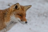 Fotografie Red fox in nature on a winter day with snowy weather