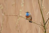 Photo The bluethroat (Luscinia svecica) in evening light, perched on a twig