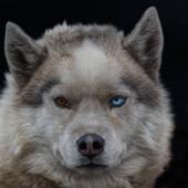 Portrait of a Siberian Husky dog at Spitsbergen.