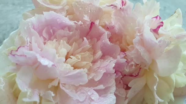 fresh peony dripping water slow motion