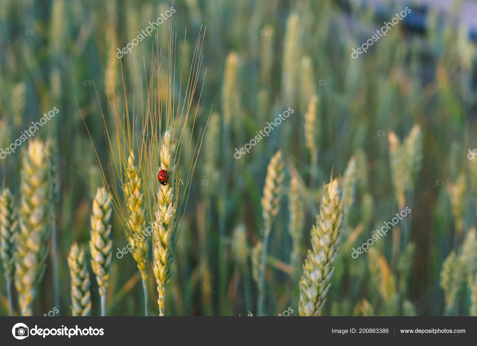 Wheat Ears Sun Wheat Ears Field Stock Photo C Nadyzima Klgd
