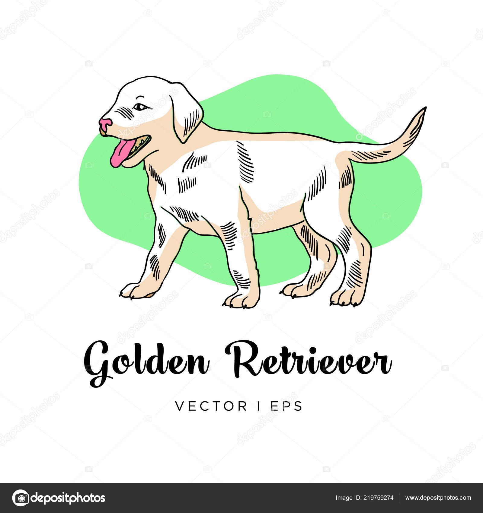 Vector Editable Sketch Golden Retriever Puppy Dog Isolated White