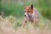 Photo Cute red fox cub on green meadow