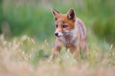 Cute red fox cub on green meadow