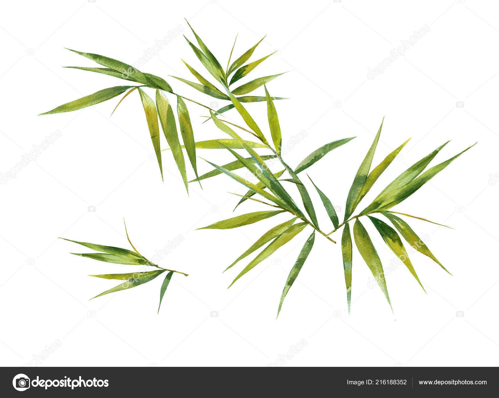 Aquarell Bild Malen Des Bambus Blatter Auf Weissem Hintergrund