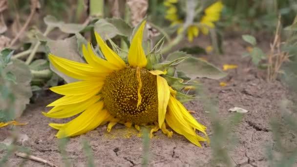 A vandálok által letört napraforgó a földön fekszik, virágszirmok ringatóznak a szélben. Az ember károsítja a természetet, vagy környezeti és ökológiai problémákat. Mezőgazdaság és betakarítás