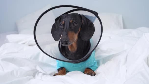 Roztomilý jezevčík s puntíkovaným neformálním pyžamem, sedící na posteli s plastovým chráničem krku, aby se zabránilo jizvám a zraněním. Štěká pes. Doba zotavení z veterinární chirurgie