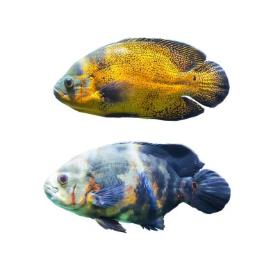 Two spotted fish from the tropical seas. Isolated photo on white background. Website about nature , aquarium fish, life in the ocean .
