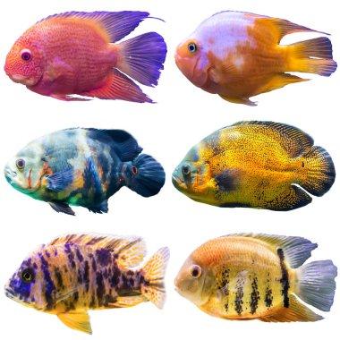 Six aquarium fish. Isolated photo on white background. Website about nature , aquarium fish, life in the ocean .
