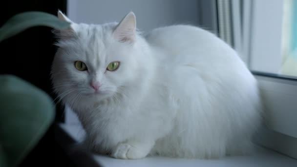 weiße Katze mit grünen Augen am Fenster sitzend und in die Kamera blickend. 4k