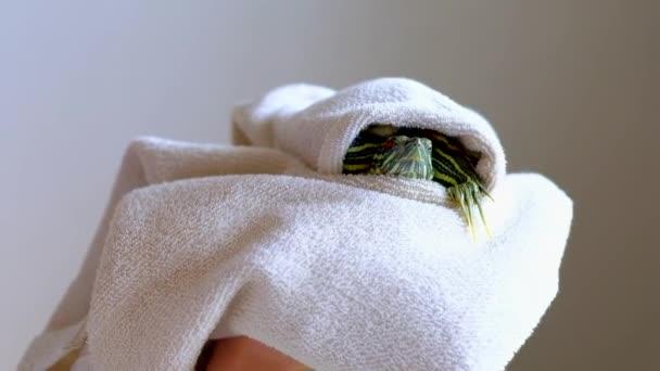 Ženské ruce držící červeno nádherná želva v bílém ručníku po mytí. Slowmotion.