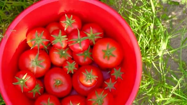 Hände pflücken Tomaten von der Pflanze zum Gemüsegarten, mit Weidenkorb.