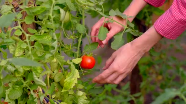 Hands of a farmer ripping a ripe tomato from a bush in greenhouse