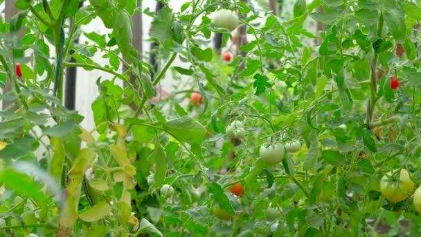 Nahaufnahme von Gurken, die im Garten wachsen.
