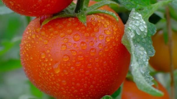 Reife rote Tomate auf Zweig