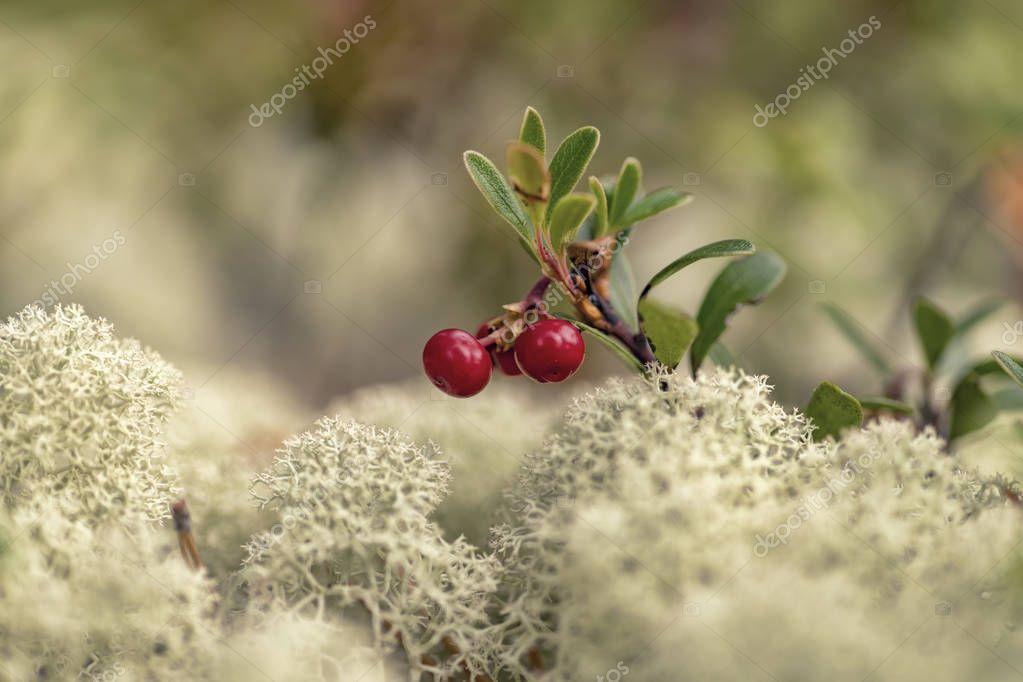 Arctostaphylos uva-ursi (kinnikinnick, pinemat manzanita, bearberry)