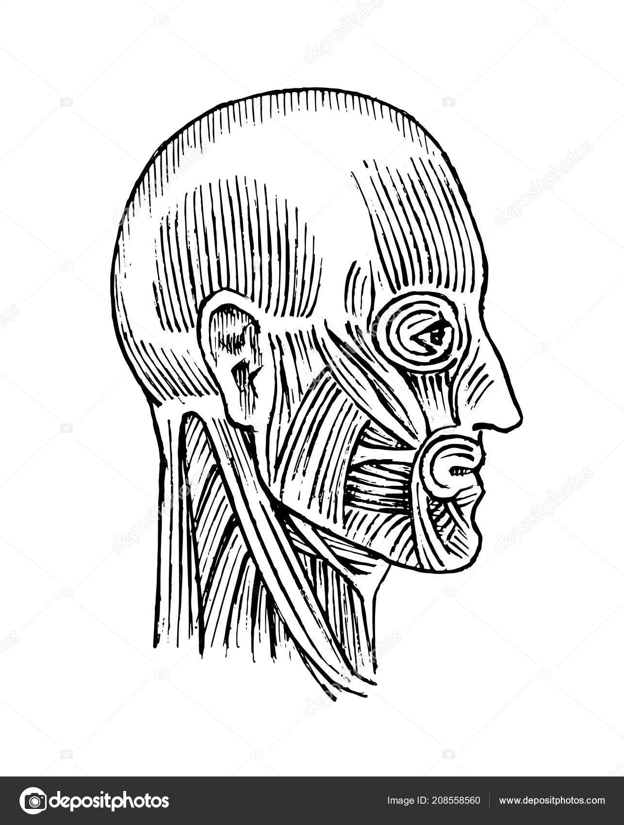 Human Anatomy Muscular And Bone System Of The Head Medical Vector