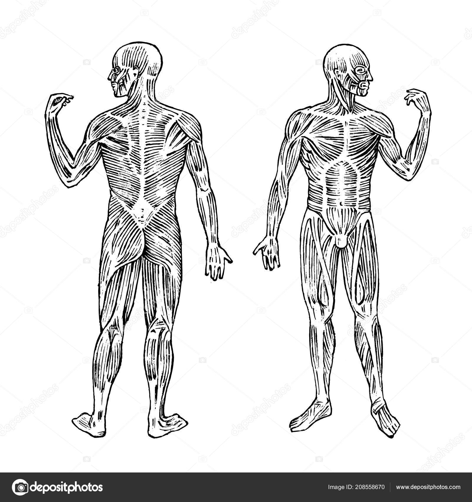 Anatomie des Menschen. Muskel- und Knochen-System. Männlichen Körper ...