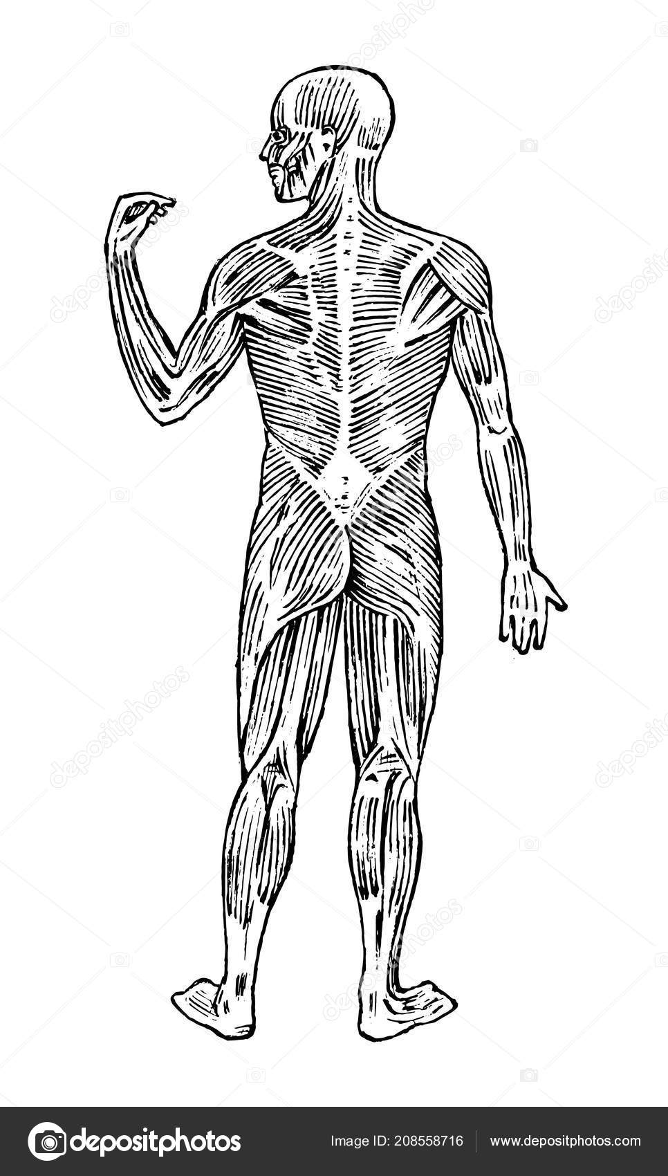 Human anatomy. Muscular and bone system. Male body Vector ...
