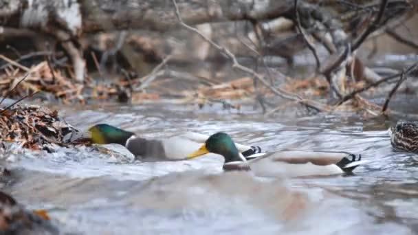 Etetés madarak kézzel. Egy kacsa eszik a magokat egy erdő, egy tó vagy folyó. Gyönyörű vadon élő állatok. Közelről.