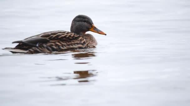 Etetés madarak. Egy kacsa eszik a magokat egy erdő, egy tó vagy folyó. Gyönyörű vadon élő állatok. Közelről.