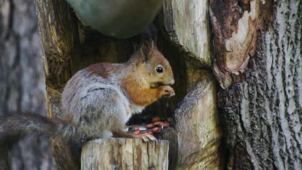 vad piros terhes európai mókus eszik az erdőben.