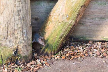 house mouse (Mus musculus) looking for food in urban environment