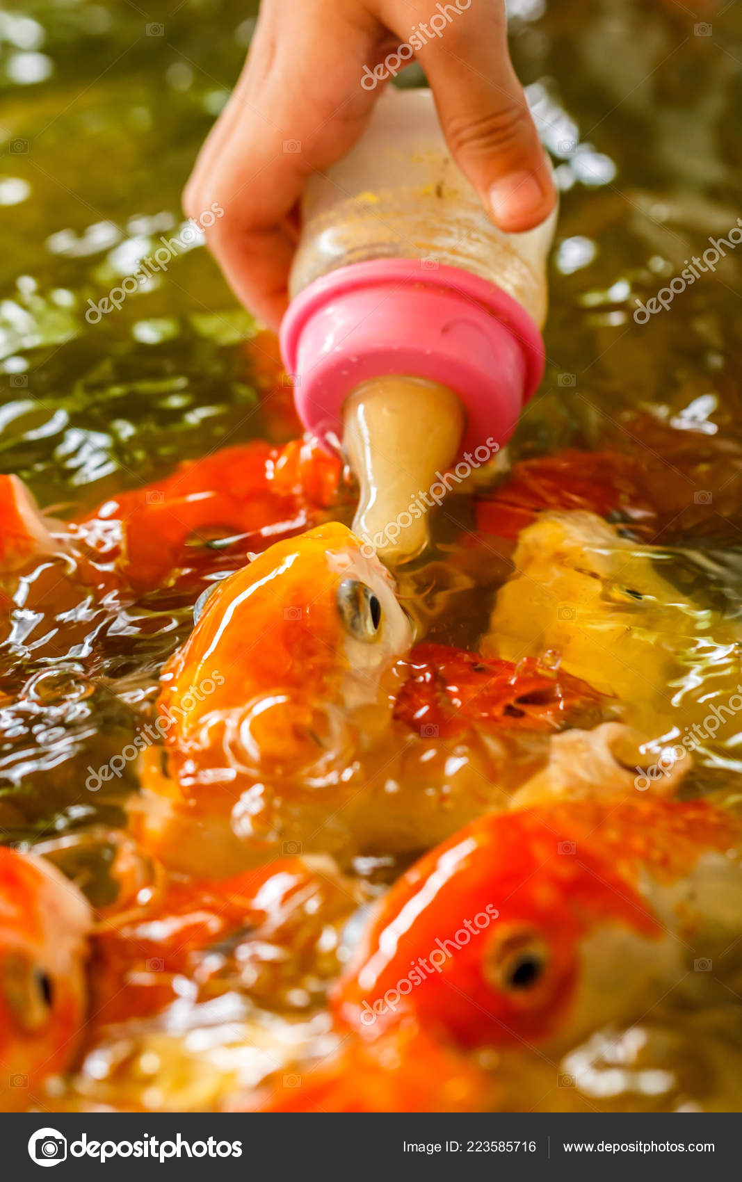 Koi Fish Feeding Baby Milk Bottle Ponds — Stock Photo