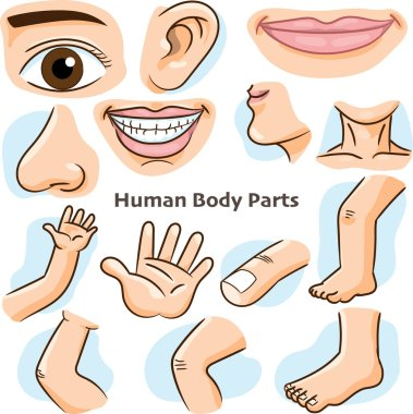Human body parts, different parts of the body for teaching. Body details, cartoon flat design - Vector Illustration.