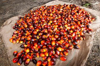 Palm Oil Industry and Plantation Indonesia