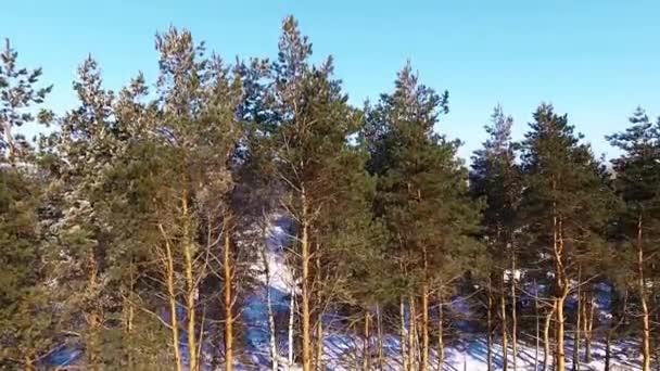 Borovice na okraji lesa