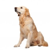 Fotografie young purebred golden retriever dog isolated on white background