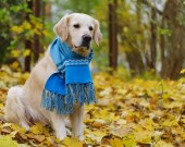 golden retriever dog in blue wool scarf on fallen yellow leaves in park