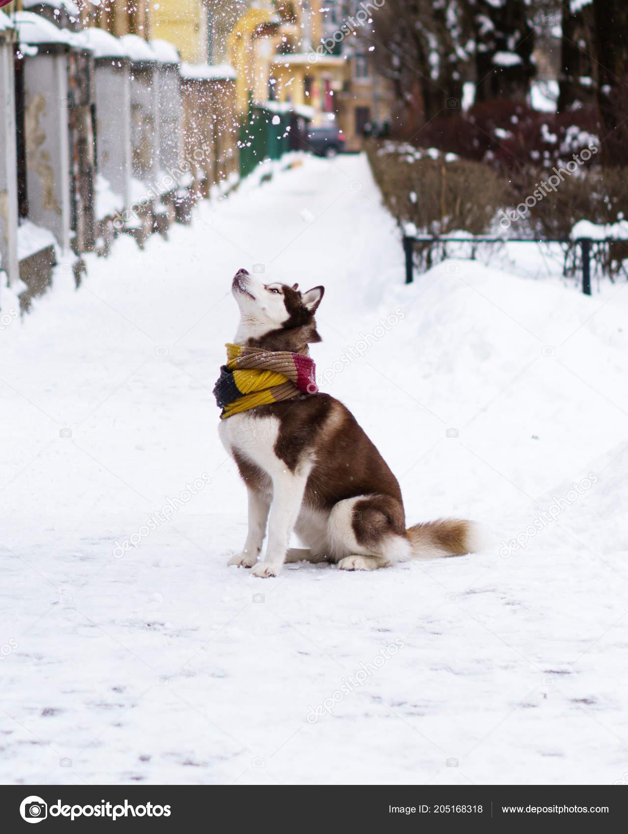 Brown Siberian Husky Dog Wool Scarf Sitting Cold Snow Park Stock