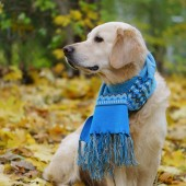 zlatý retrívr pes modrý vlněný šátek na žluté listí v parku