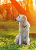 golden retriever dog sitting on spring green grass in park at sunset